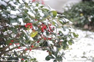 雪中一点红图片
