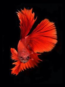 ...鱼 原 来自黑彼岸花的图片分享 堆糖