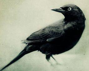 梦见黑色鸟