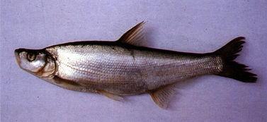 白鱼又叫翘嘴鱼吗 现在市场价多少一斤 养殖方法有哪些