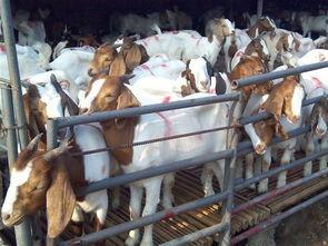 烈旭清河肉部分-养羊,养牛,养驴市场行情,养羊,养牛,养驴利润分析.免费 咨询热...