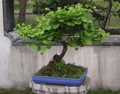 银杏树苗 盆景