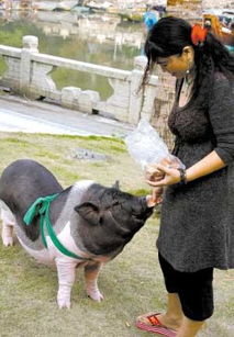 南山兵哥大长茎-1000多元宠物猪变大肥猪   家住珠海老香洲的周女士向来喜欢小宠物,...
