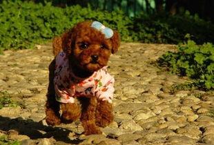 怎样挑选泰迪犬 十招助你正确选择狗狗