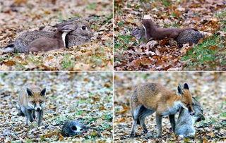 ...期间,这只兔子曾数次试图逃脱鼬鼠的袭击,但因力竭而未能成功....