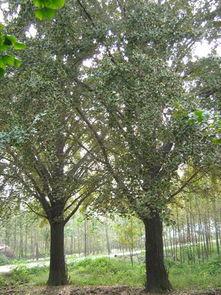 银杏树 银杏盆景 银杏绿化苗木