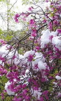 后来的雪-5月11日凌晨,涞水县野三坡风景名胜区内的白草畔森林公园飘起了罕...