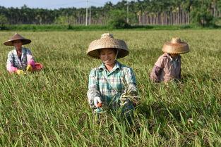 农民-稻田
