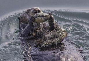 批会使用工具的类人猿,那时类人猿可能用岩石砸碎坚果食用.   海獭...