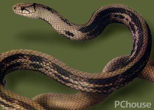 闪皮蛇-食性:主要捕食鼠类,也食蜥蜴、蛙类及鸟类,甚至取食蚯蚓.蛇基本...