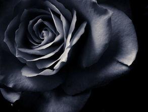 ...有黑玫瑰花语中温柔真心的那个人还没有醒来