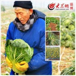 冻坏的农作物:菠菜、菜花、白菜-一颗白菜一份爱心 淄博宏仁堂数万...