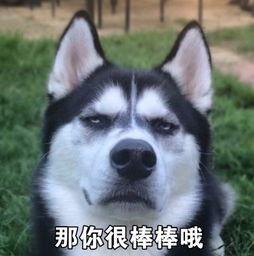 柴犬和哈士奇 谁是表情包