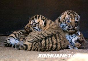法国动物园添虎宝宝