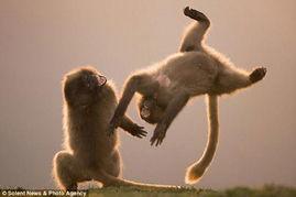 英国摄影师拍下灵长类动物跳跃和翻跟斗瞬间