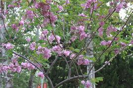 奇异的紫色槐树和花
