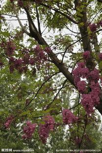 紫槐树图片