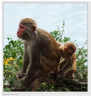 原创 可爱的小猴子