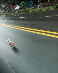 ...狗狗一直在马路上奔跑,一路追着公交车跑.-网曝狗狗不能上公交 ...