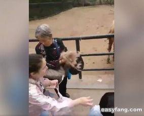老太太逛动物园薅骆驼毛 游客 骆驼被薅得挺难受的挣 -近日 时事热点 ...