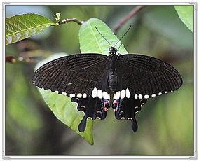 什么蝴蝶是黑色的-黑蝶的美丽