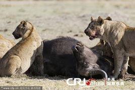 ...拍狮子捕食水牛残忍画面 高清组图