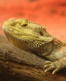 刺世龙雀-earded Dragon)