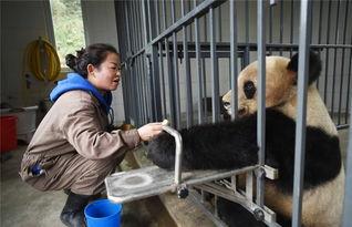 艹狗图片图库-1月27日,在中国大熊猫保护研究中心都江堰基地,