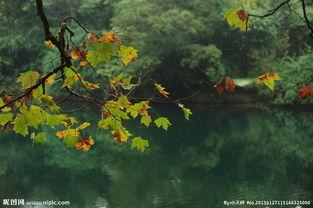 梧桐梧桐-梧桐树图片