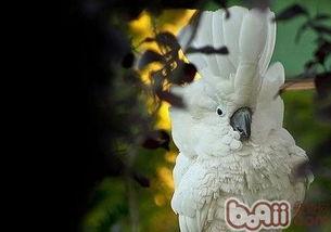 雨伞凤头鹦鹉,雨伞凤头鹦鹉价格 雨伞凤头鹦鹉多少钱一只 雨伞