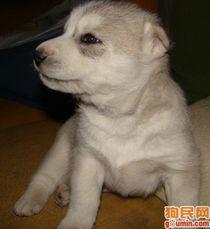 哈士奇犬照片 西伯利亚雪橇犬照片 未命名456 shiny