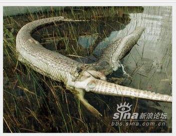 蟒蛇吞鳄鱼,一个撑死一个憋死