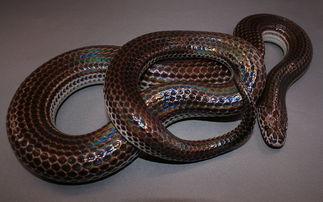 闪皮蛇-闪鳞蛇 Xenopeltis unicolor