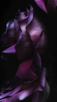 苹果IOS10官方内置壁纸 玫瑰 紫色 苹果手机高清壁纸 1080x1920 爱思...
