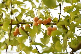 丰满肥熟农村老鸡-银杏果熟图片