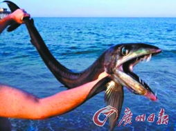 断獠- 一条面目狰狞、长着獠牙的深海帆蜥鱼被冲上北卡罗来纳州的海滩. ...