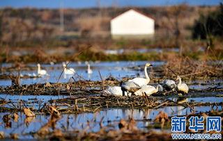 12月28日,候鸟栖息在鄱阳湖畔南昌县五星垦殖场境内.新华社记者 -...