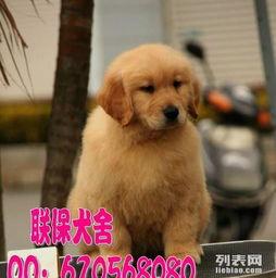 高品质纯种金毛幼犬金毛犬价格多少钱一只