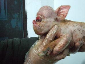 外星猪来到地球