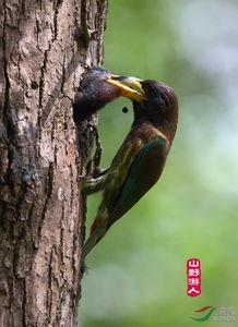 大拟啄木鸟的故事 系列三
