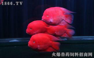 财神鱼和鹦鹉鱼的区别