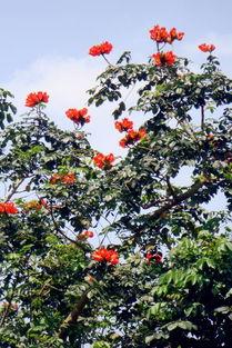 科学网 火焰般火红的非洲火焰木花朵 李土荣的博文