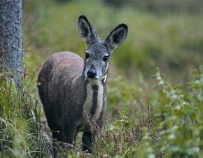 ...猎杀10只濒危动物林麝被判刑12年
