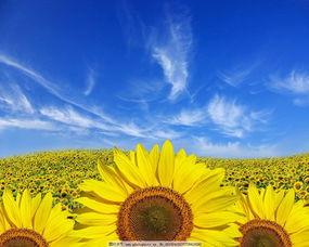 向阳花 壁纸