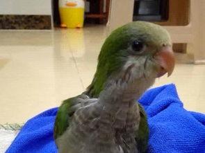 转让健康绿和尚鹦鹉幼鸟,5个月公鸟,手养鸟