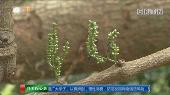 ...神秘植物 样似冬虫夏草