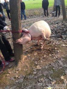 艹狗图片图库-图集-2岁男童树林玩耍被母猪咬死 头骨留母猪体内