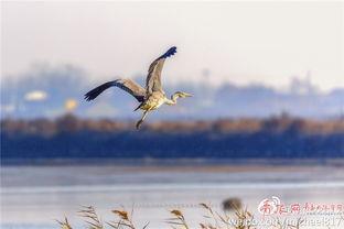 候鸟-一派自然和谐之美 胶州湾成越冬鸟儿天堂