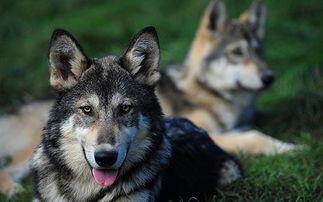 姐妹俩跟狗做爱-...非纯种狼和家狗交配之后繁殖的后代.-狼狗混血儿 成家庭新宠 较强...