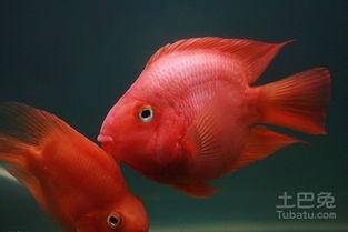 财神鱼和鹦鹉鱼的区别对比